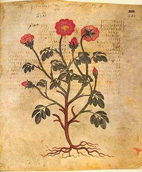 Rhodon Rosa lutea: Rose, tomada de http://exhibits.hsl.virginia.edu/herbs/vienna-disocorides/
