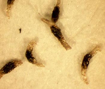 Semillas de orquídeas vistas al microscopio 50 aumentos