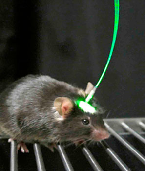 La optogenética consiste en dirigir un haz de luz hacia un tipo particular de neuronas que fueron previamente identifi- cadas y manipuladas, para activarlas o desactivarlas. Gracias a esto, es posible entender cómo funcionan los circuitos neuro- nales que se encargan del funcionamiento del sistema nervio- so. Imagen tomada de Williams and Deisseroth (2013).