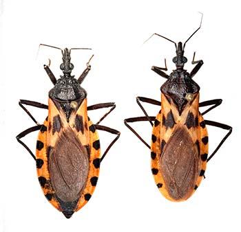 Figura 2. Chinches besuco- nas de la especie Triatoma dimidiata, transmisores de la enfermedad de Chagas en el norte del estado de Puebla. Foto: César Antonio Sandoval R