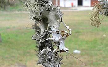 Líquenes cortícolas aprovechados por un insecto como camuflaje. Foto: J. Aguilar