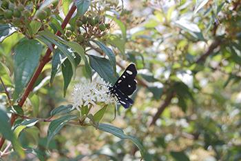 Mariposa sobre flores de Cornus excelsa, tomada en el jardín botánico de la BUAP