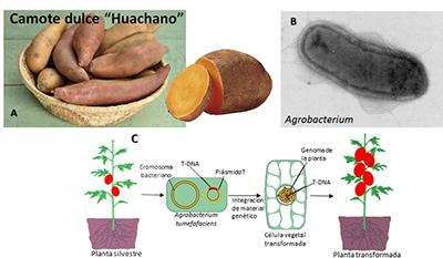 Figura 1. Plantas de camote (A) contenían secuencias genéticas provenientes de la bacteria Agrobacterium (B). En C se muestra brevemente que el proceso de transgénesis puede provocar incre- mento en el rendimiento de la planta y dotarla de ventajas contra enfermedades o estrés ambiental.