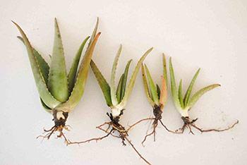 Nombre: Sábila Nombre científico: Aloe vera Descripción: División de Sábila Aloe vera