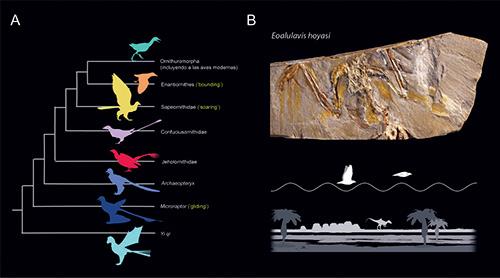 Figura 1. A. Filogenia simplificada de las aves y sus parientes cercanos. Entre paréntesis y en amarillo aparecen los tipos de vuelo inferidos para algunos representantes de cada grupo de aves primitivas y parientes no aviarios, en base a recientes estudios aerodinámicos. B. Eoalulavis hoyasi, un ave enantiornita proveniente del yacimiento de Las Hoyas (126 millones de años, España) para el cual se ha propuesto que pudiese emplear un tipo de vuelo muy especializado conocido como bounding o vuelo 'a saltos'. Figura 1B cedida por Francisco J. Serrano.