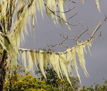 · Tillandsia usneoide, famille des Bromeliaceae, por J-P.M, en www.flickr.com, http://upload.wikimedia.org/wikipedia/commons/7/7f/Orkid%C3%A9_med_luftr%C3%B6tter,_Nordisk_familjebok.png