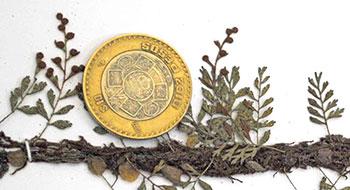 Figura 1. Pleopeltis fallax