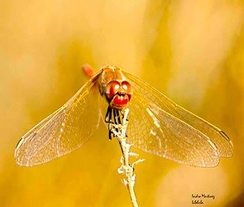 Libélula, por isimar33, en www.flickr.com