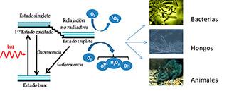 Figura 1. Representación esquemática del proceso fotoquímico de excitación del fotosensitizador (PS).