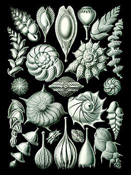 Ilustración de foraminíferos por Ernst Haeckel. Ambas imágenes tomadas de http://blog.riosecreto.com/tag/ciencia/