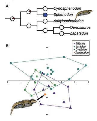 """Figura 1. A) Tasas evolutivas en la """"Tuatara"""" y sus parientes cercanos. El color azul indica tasas de evolución mor- fológica muy bajas, el blanco indica tasas promedio, mientras que el color rojo indica tasas muy altas. B) Estudio de morfometría geométrica, en el que se muestran los cambios en el morfoespa- cio de los rincocéfalos durante el Me- sozoico y la posición central de la """"Tua- tara"""" comparada con sus parientes fósi- les. A y B, modificados de [4]; imagen de """"Tuatara"""" tomada y modificada de http://www.factzoo.com/reptiles/tuata- ra-lizard-that-isnt-lizard.html"""