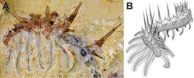 Figura 1. A) Fotografía y B) reconstrucción de Collinsium ciliosum, un organismo de cuerpo blando del Cámbrico temprano (518 Ma) de China. Autores: A) Jie Yang 2015, B) Javier Ortega-Hernández 2015