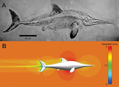 Figura 1. A) Stenopterygius quadriscissus, un ictiosaurio Jurásico procedente de Holzmaden, Alemania. Imagen tomada de Milner y Barret, 2015[8]. B) modelo 3D de Stenopterygius en un experimento de fluido virtual (CFD). Autor: Susana Gutarra 2018.