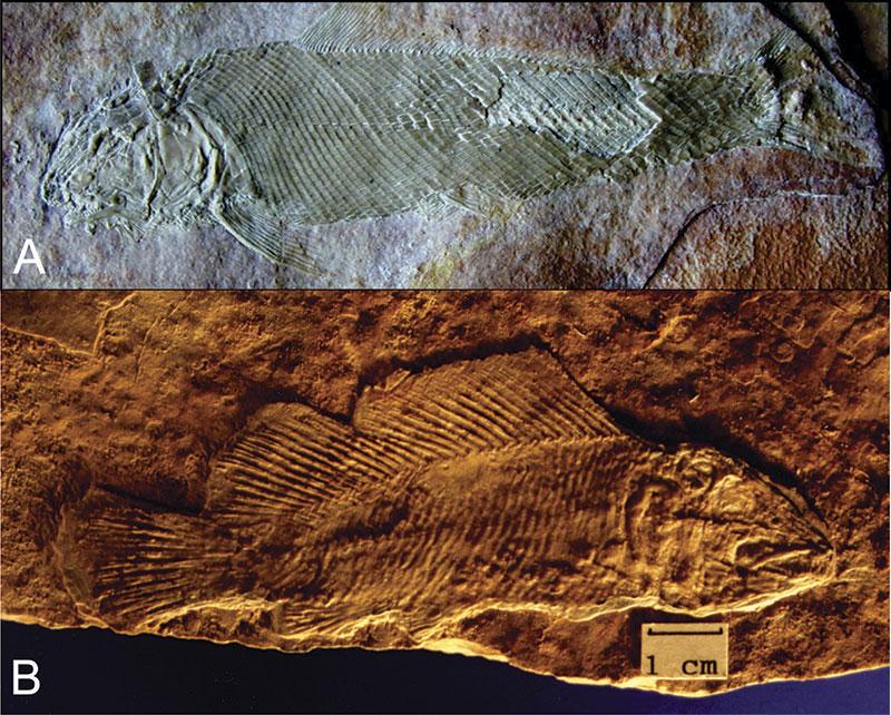 A. Teoichthys kallistos B. Macrosemiocotzus americanus. Fotos: Instituto de Geología de la UNAM.