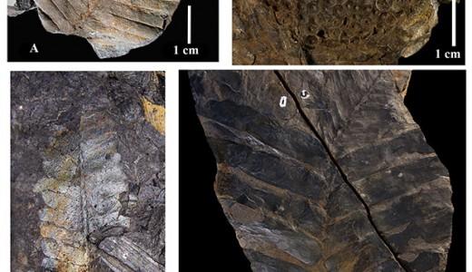 a) Otozamites hespera; b) Williamsonia netzahualcoyotlii; c) follaje de Zamites lucerensis y d) Zamites oaxacensis