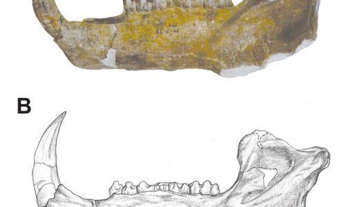 Figura 1. Espécimen CRINAHP-0001 (Centro Regional INAH Puebla), que corresponde a una mandíbula semicompleta de Platygonus compressus. A) Fotografía en vista lateral izquier- da; B) Ilustración para mostrar con mayor detalle las suturas y surcos de los huesos. Este espécimen estudiado por la auto- ra se exhibe actualmente en la Sala de Paleontología del Museo Regional de Puebla. Modificado de [4].
