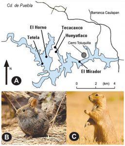 Figura 1. A) Zona de Valsequillo, comprende cuatro locali- dades con restos fósiles: El Horno, El Mirador, Tecacaxco y Hueyatlaco; B) Imagen del zacatuche; C) Imagen del perrito llanero mexicano. Nota: A) Tomado de (12); B) Tomado de https://cutt.ly/hj1H16v; C) Tomado de https://cutt.ly/xj1H8Xq